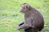 Sentado monos curiosos mirando en vietnam tropical — Foto de Stock