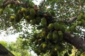 Cluster of breadfruits on the tree — Stock Photo