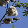 Cotton Plant Ready for Harvest — Stock Photo #75965757