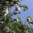 Cotton Plant Ready for Harvest — Stock Photo #75965979