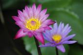 Two Lotus flower and Lotus flower plants — Stock Photo