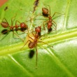 Three red ant on green leaf — Stock Photo #58407441