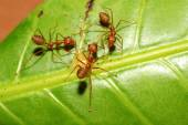 Three red ant on green leaf — Stock Photo