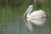 BIRD on lake water in sunny day, BIRD on pond, nature series — Stock Photo