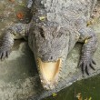 Close up head  Siamese crocodile in zoo   — Stock Photo #58485725