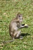Monkey eating — Stock Photo