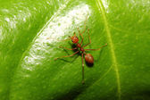 Ant on leaf  — Stock Photo