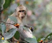 Monkey look food — Stock Photo
