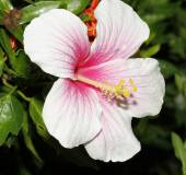 Close up Hibiscus pink flower Blossom — Stock Photo