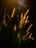 Pennisetum pedicellatum Trin — Stock Photo