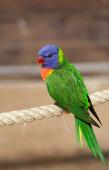 Piękne papuga — Zdjęcie stockowe