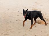 Doberman dog — Stock Photo
