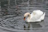 Bílá labuť — Stock fotografie