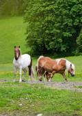Horses grazing — Stock Photo
