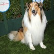 Lassie attends Safe Kids Day — Stock Photo #73447427