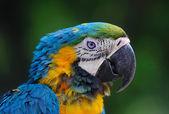 Close-up of Blue-and-Yellow Macaw, Ara ararauna, green batskground. — Stock Photo