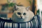 Toned portrait of a white cat-British chinchilla. — Stock Photo