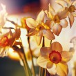 Spring flowers daffodils in the golden sunlight — Stock Photo #61905699