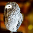 Постер, плакат: Congo African grey parrot also named jaco