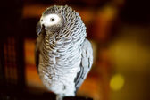 Congo African grey parrot also named jaco — Stock Photo