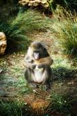 Mandrill (Mandrillus Sphinx) eating  — Stock Photo