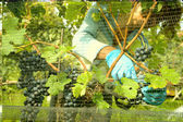 Harvesting grape on a vineyard at Porza near Lugano — Stock Photo
