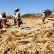 Farmers harvesting wheat on the countryside of Pindaya — Stock Photo #58354345