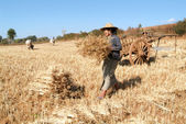 Farmers harvesting wheat on the countryside of Pindaya — Stock Photo