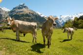 Brown cows in the alpine meadow — Stockfoto