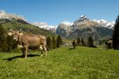 Brown cows in the alpine meadow — Stock Photo
