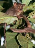 Cute tarsier sitting on tree — Stock Photo