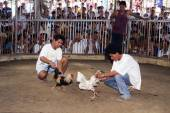 Traditional cockfighting competition — Stock Photo