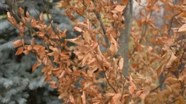 Dry brown leaves on tree moving in wind. — Stock Video