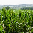 Corn field against distant hills — Stock Photo #68193355