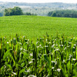 Corn field against rolling hills — Stock Photo #68193407