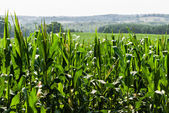 Corn field against distant hills — Stock Photo