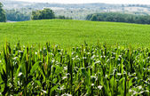 Corn field against rolling hills — Stock Photo
