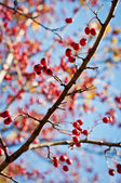 Berries branch on a tree. Autumn close-up image. — Stock Photo