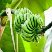 Kilka zielonych bananów na drzewo. — Zdjęcie stockowe