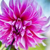 Dahlia flower background. autumn flower — Stock Photo