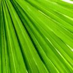 Palm leaf closeup — Stock Photo #54456823