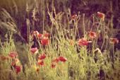 Vintage wild poppies — Stockfoto