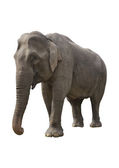 Benevolent elephant — Stock Photo