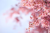 Cherry blossom in spring time, sakura — Stock Photo