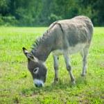 Donkey in meadow — Stock Photo #55756519