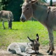 Mother and baby donkey in meadow — Stock Photo #55756573