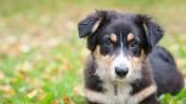 Australian Shepherd dog portrait outdoors — Stock Photo