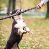 Australian Shepherd dog playing with stick — Stock Photo