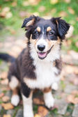 Australian Shepherd dog close up portrait outdoors. — Stock Photo