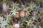 Cone of juniperus  oxycedrus macrocarpa — Stock Photo